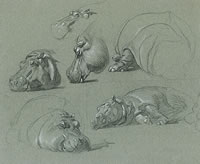 Studies of a hippopotamus